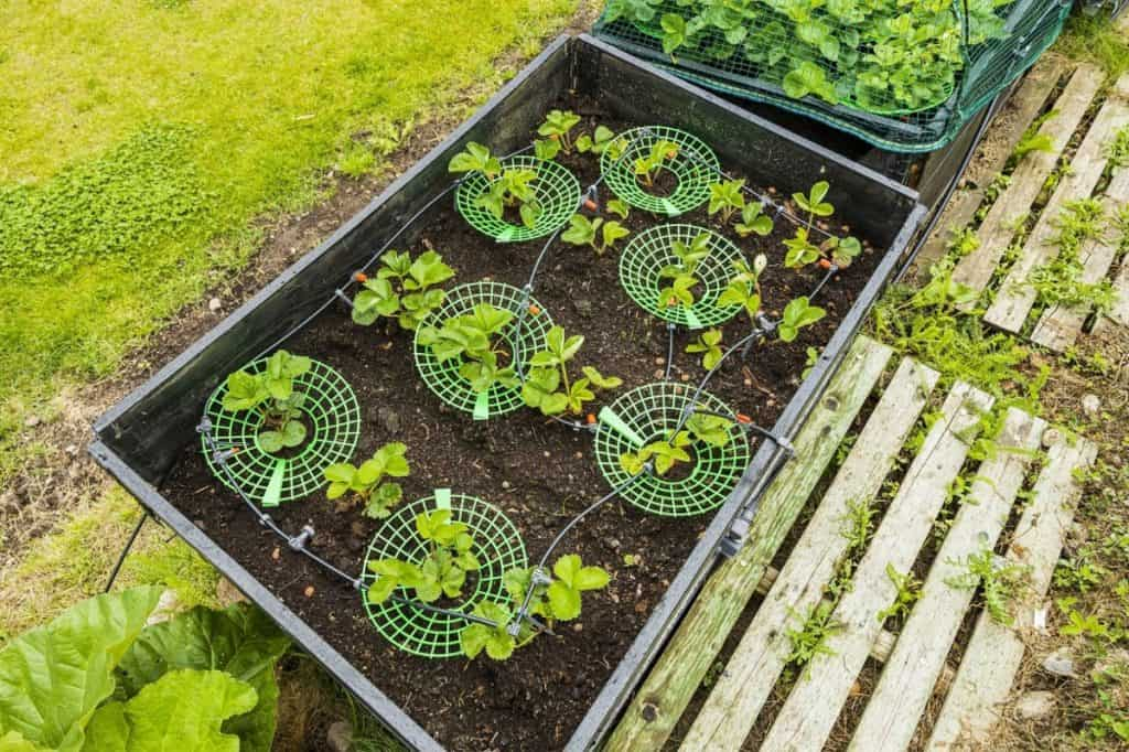 strawberry plants in garden boxes with automatic watering system